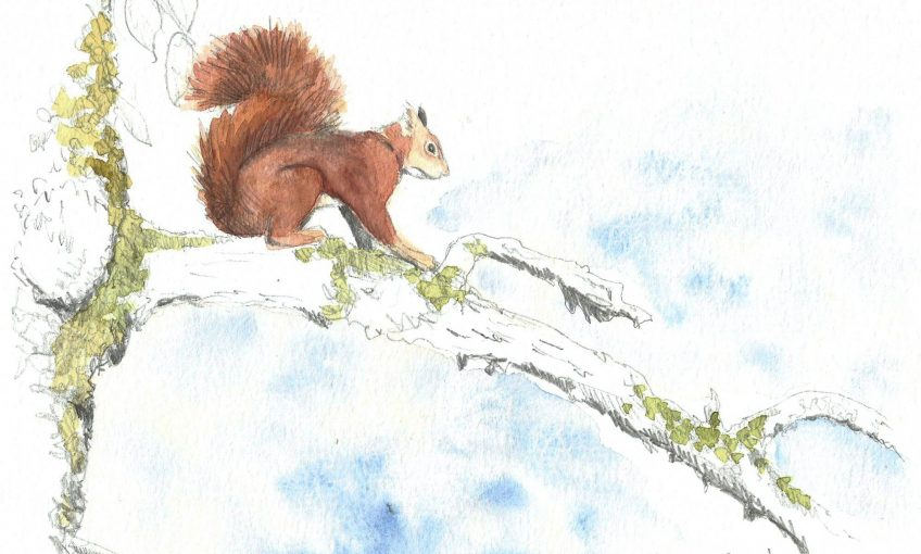 Avenir gris pour notre écureuil roux ? - La Salamandre