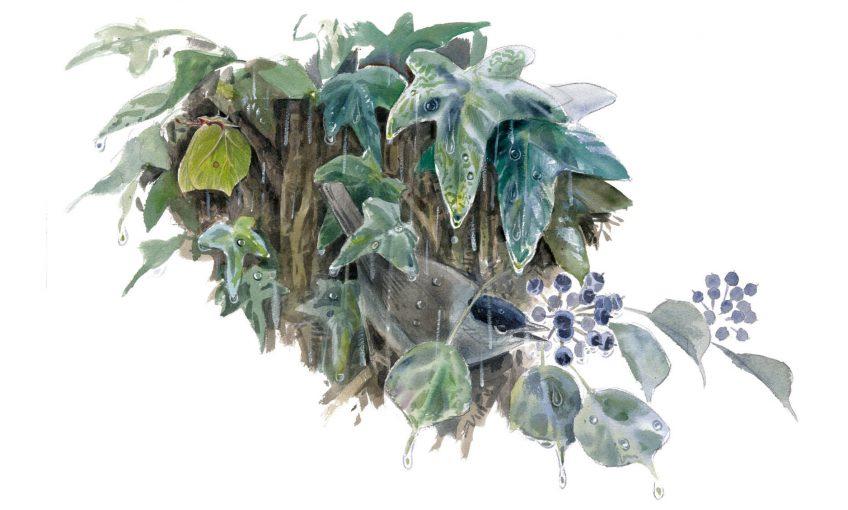 Le lierre, un hiver sous les tropiques - La Salamandre