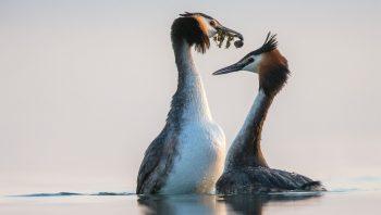 La danse nuptiale des grèbes huppés, comme un instant glamour sur le lac.
