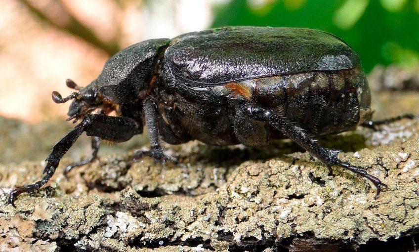 Pique-prune, un ermite en pleine ville - La Salamandre