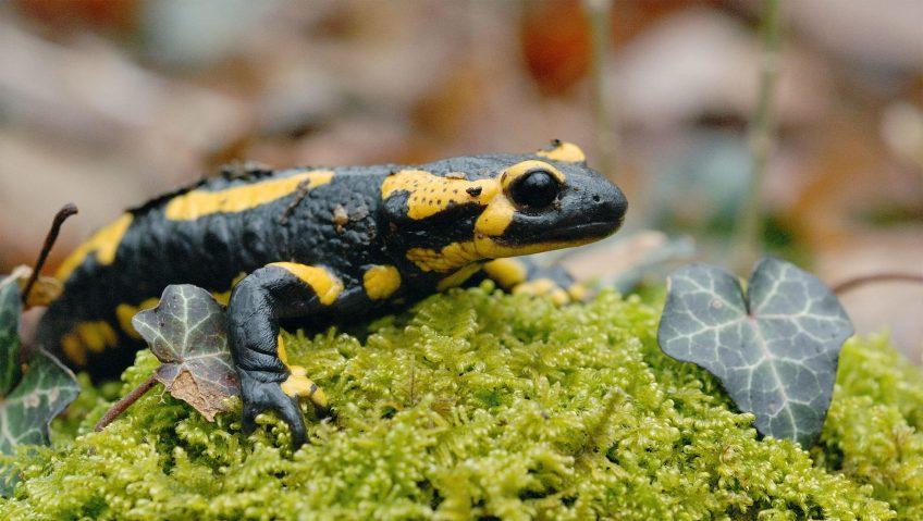 Alerte au champignon tueur de salamandre - La Salamandre