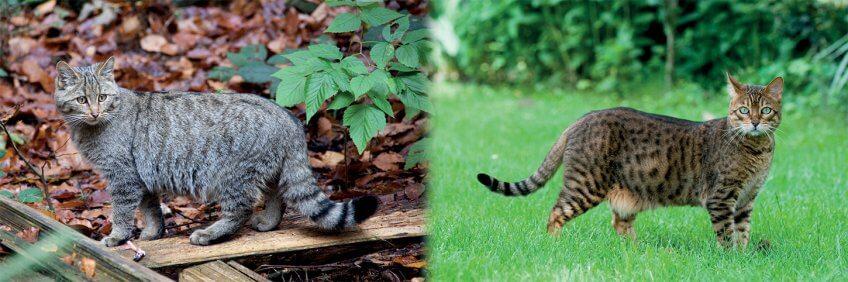Le chat sauvage et le chat domestique