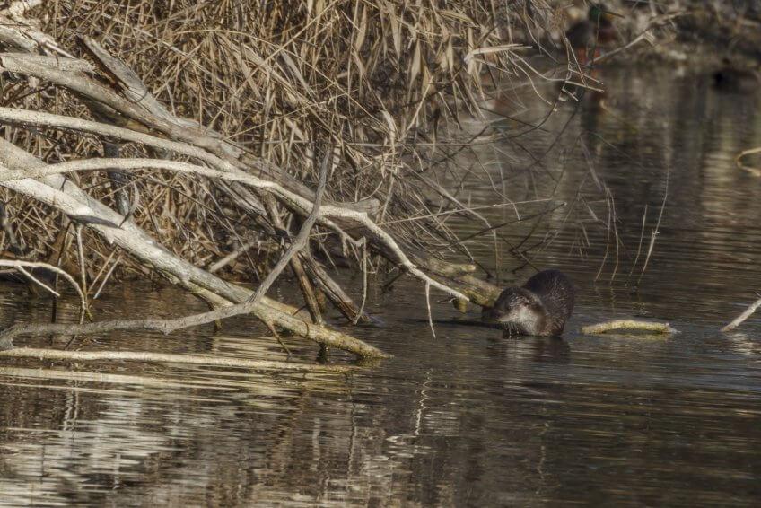 Loutres : prédiction de son retour en Suisse et nouvelles observations - La Salamandre