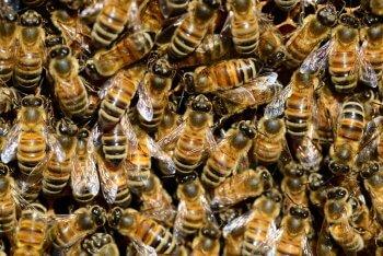 Des néonicotinoïdes dans le miel - La Salamandre