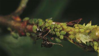 La traite des pucerons fournit un miellat sucré très apprécié des fourmis. Celles-ci défendent vigoureusement leurs troupeaux contre les coccinelles.