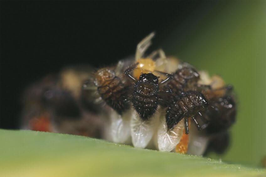Coccinelles : Le ballet des larves - La Salamandre