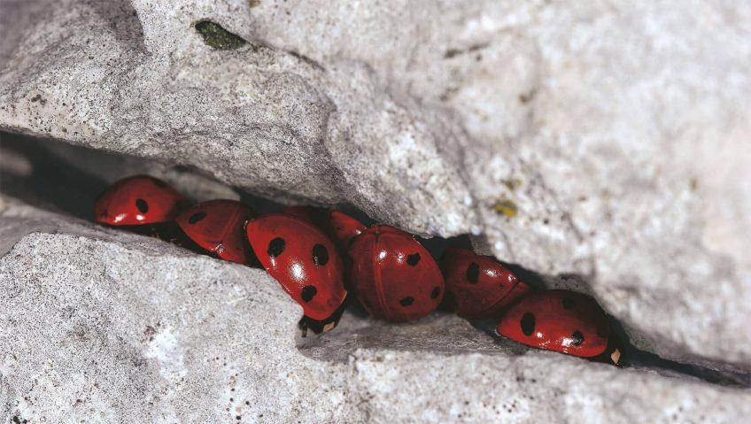 Retour au sommet pour les coccinelles - La Salamandre