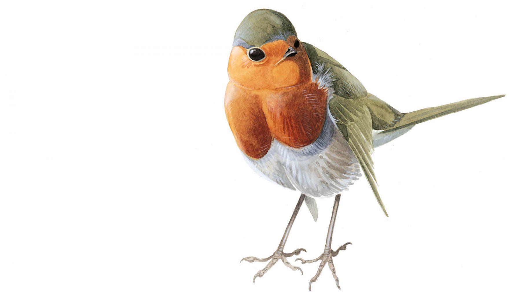 L esprit migrateur du rougegorge la salamandre - Un oiseau dessin ...