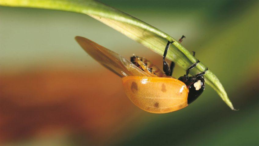 Enfin des ailes pour la coccinelle! - La Salamandre