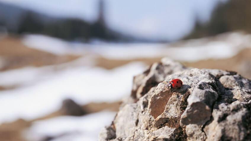 Coccinelles, surgies des sommets - La Salamandre