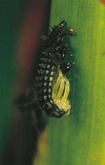 Quand les larves de coccinelles font peau neuve - La Salamandre