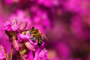 Une abeille en train de butiner.