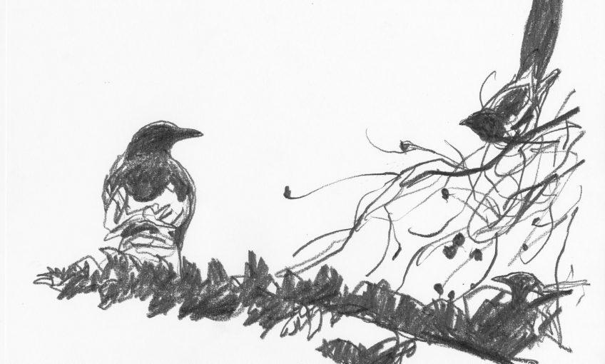Denis Clavreul raconte ses plus beaux dessins de pie bavarde - La Salamandre