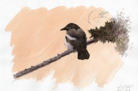 Pendant près d'une demi-heure ce jeune est resté posé là, seul, à proximité du nid, face au soleil dans cette douce et belle lumière printanière. Nantes, petit matin du 13 mai 2017, crayon graphite et aquarelle sur papier Canson.