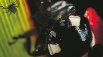 Si un mâle de coccinelle se contente de quatre ou cinq proies par jour, les femelles ont besoin d'en dévorer quotidiennement une vingtaine pour grossir et faire mûrir leurs œufs.