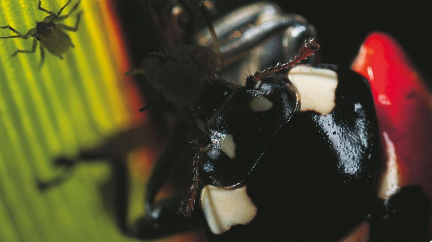 Coccinelles : Demoiselles voraces - La Salamandre