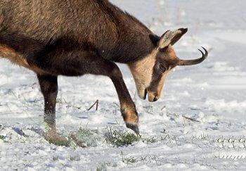 Le chamois gratte la neige pour trouver à manger.