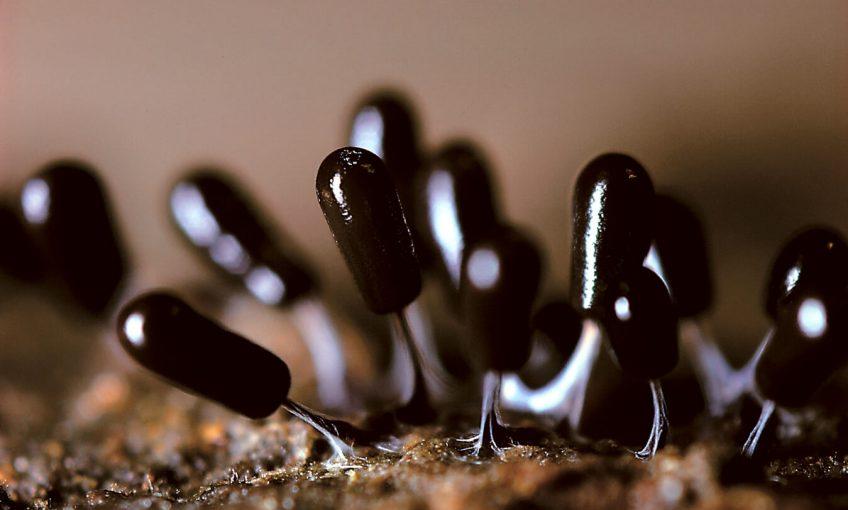 Minuscule - La Salamandre