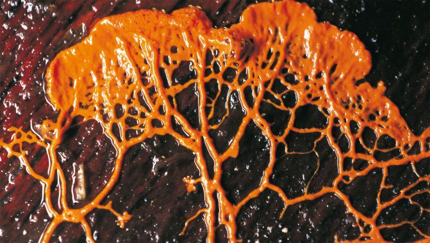 Animal ou champignon ? - La Salamandre