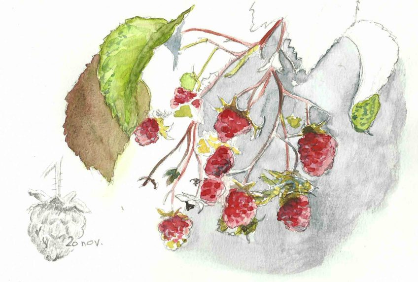 Les framboises fruits du sang d'Ida