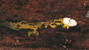 Le myxomycète est une gelée vivante…