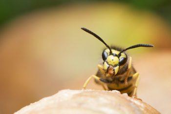 wasp-german-wasp-vespula-germanica-female-45906