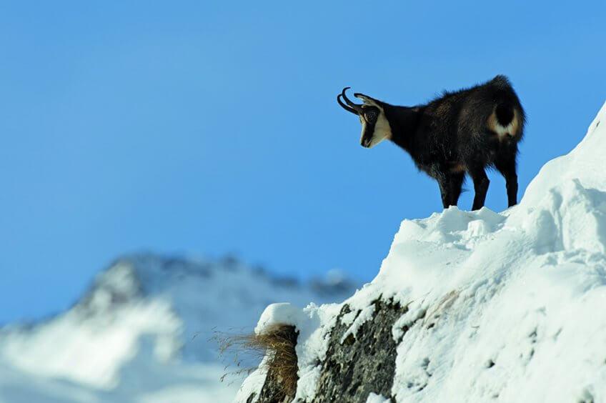 Le chamois est le prince de la montagne !