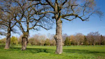 Allée majestueuse de chênes pédonculés, emblème de la campagne genevoise.