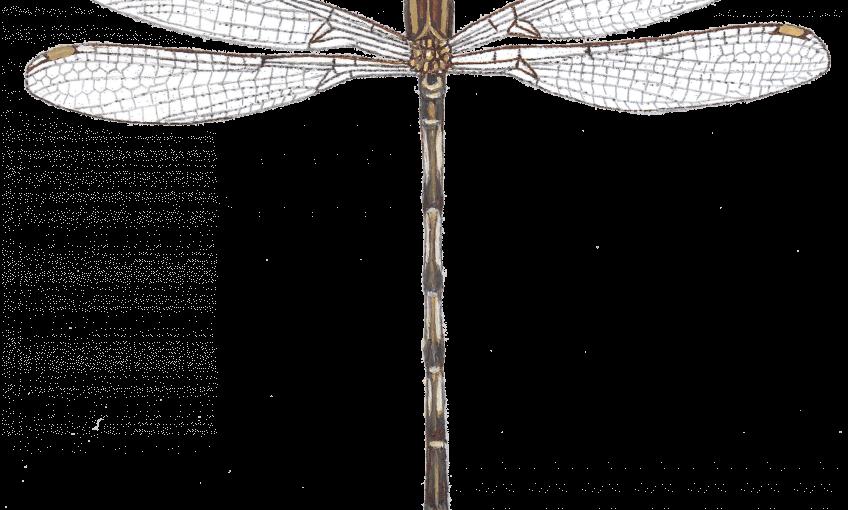 Libellule pas frileuse - La Salamandre