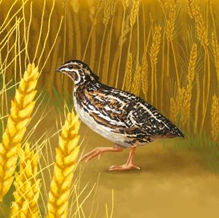 La caille des blés