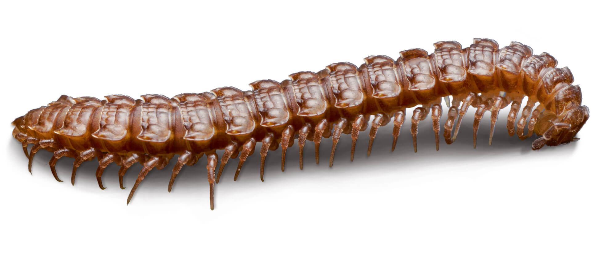 Mille et une pattes - La Salamandre