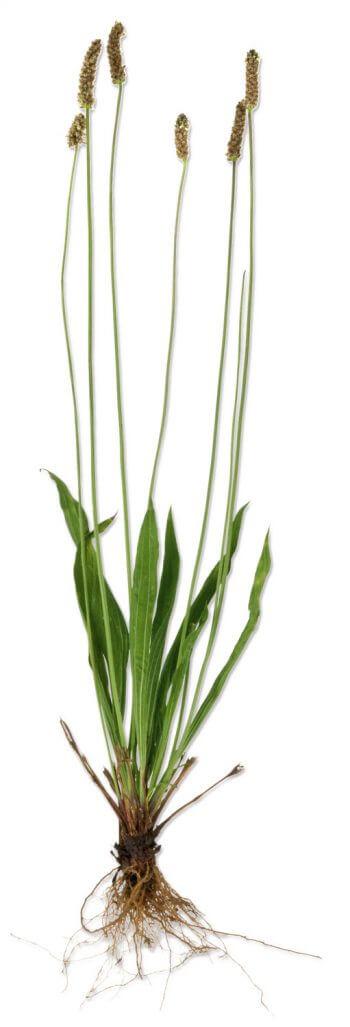 Docteur House, plantes médicinales - La Salamandre