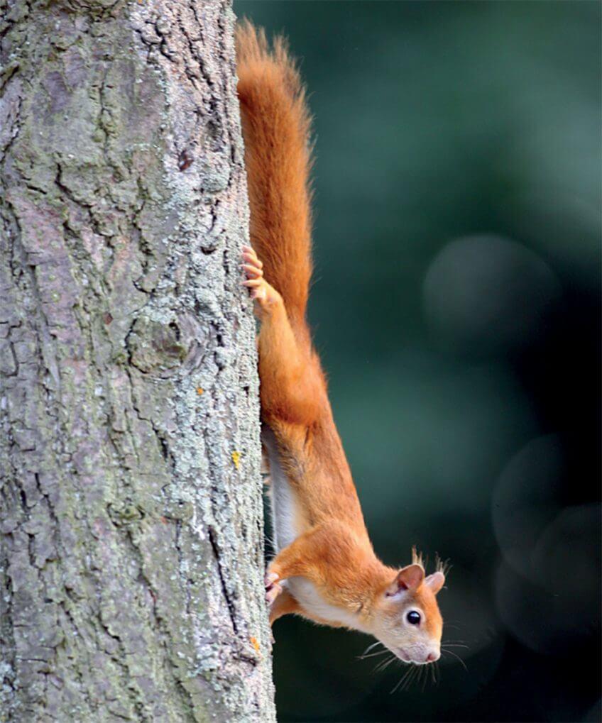 L'écureuil, grimpeur professionnel