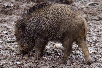 wild-boars-animals-wild-forest-38521