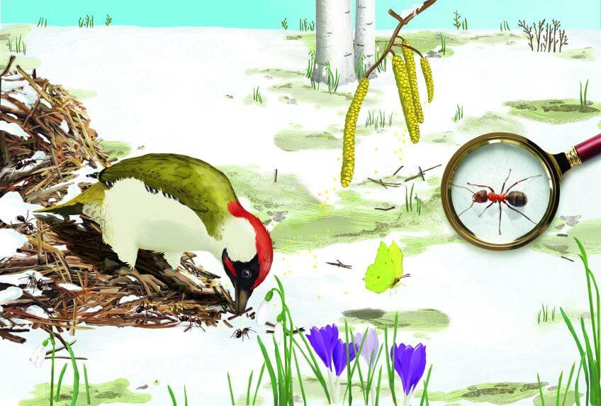 Pic qui mange des fourmis