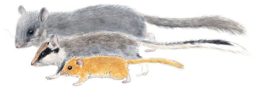 Le muscardin, un p'tit rouquin costaud - La Salamandre
