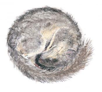 Le loir s'endort roulé en boule, le nez dans la queue. Les pavillons des oreilles sont repliés vers l'avant pour limiter les déperditions de chaleur.