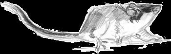 Le lérot : ni rat ni souris - La Salamandre