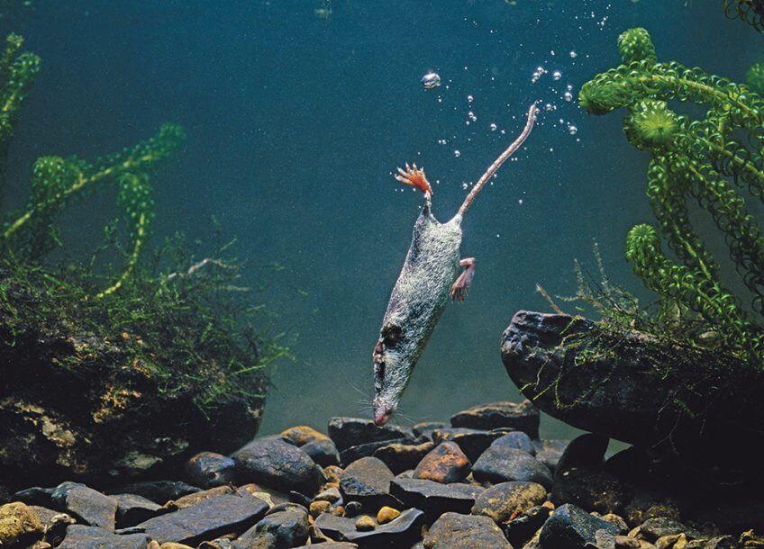 La musaraigne aquatique