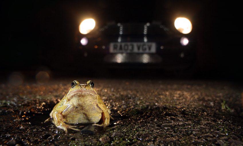 Migration des grenouilles, aidons les à traverser la route - La Salamandre