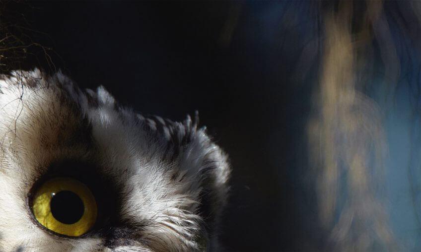 La chouette de Tengmalm dans le Jura - La Salamandre
