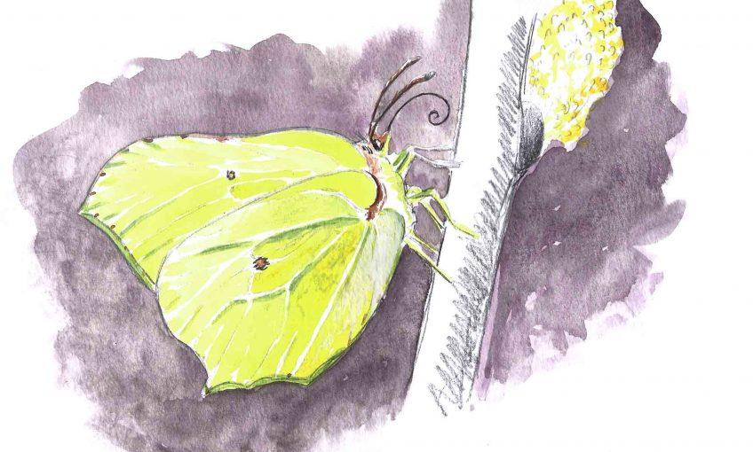 Papillon citron pressé - La Salamandre