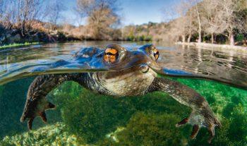 Comment les crapauds retrouvent-ils leur étang au printemps ?