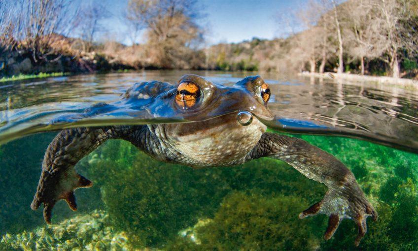 Comment les amphibiens retrouvent-ils leur mare? - La Salamandre