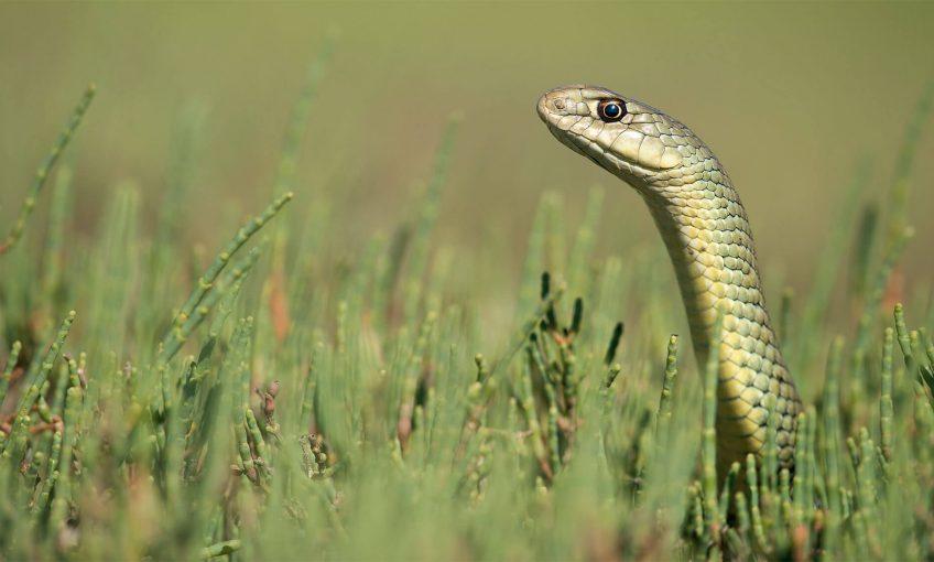 Les serpents en photos sous l'objectif de Maxime Briola - La Salamandre