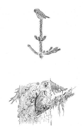 Chouettes chevêchette et Tengmalm, proies de la hulotte - La Salamandre