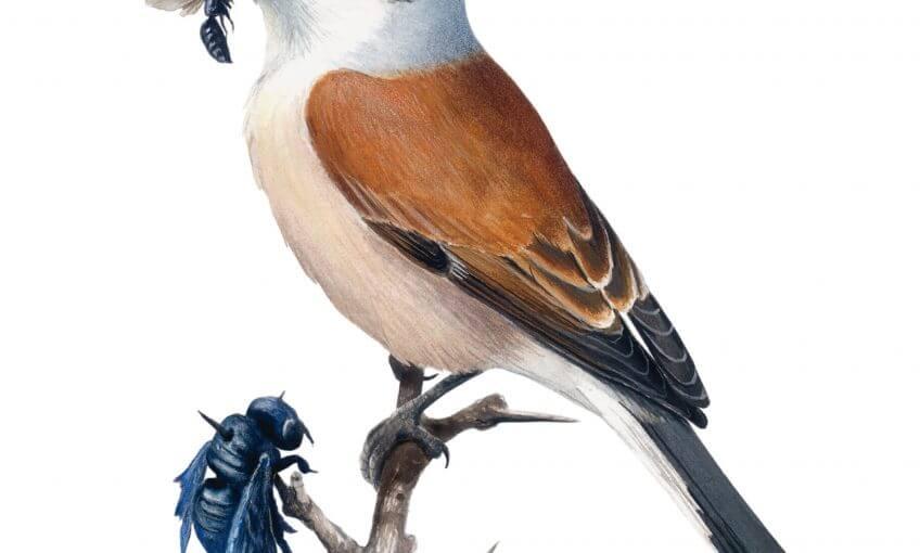 La pie-grièche écorcheur, l'oiseau masqué - La Salamandre