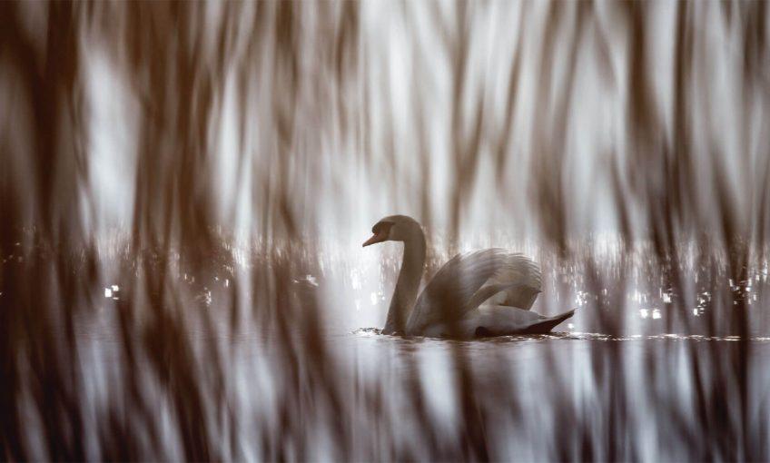 Photo : les oiseaux du lac, au théâtre des roseaux - La Salamandre