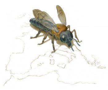 Une nouvelle espèce d'abeille exotique envahissante en France - La Salamandre
