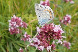 Un azuré s'offre un bol de nectar sur les fleurs d'origan / © Arco Images / Alamy